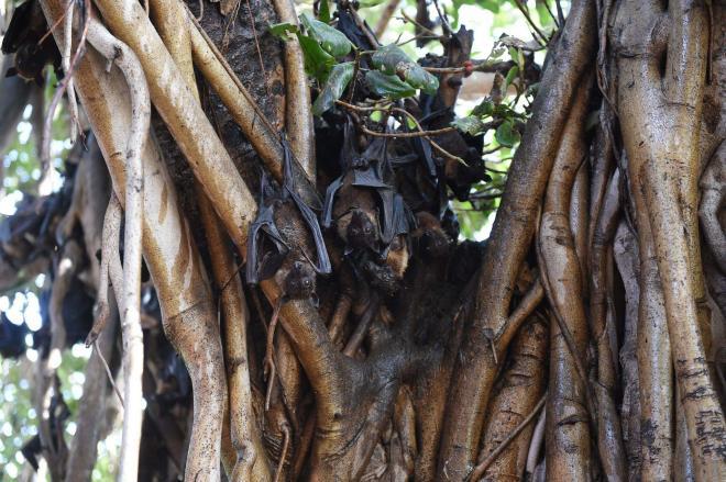 ভারতের গুজরাট কলেজের ক্যাম্পাসের গাছে বাদুড় ঝুলে আছে