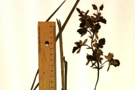 নতুন প্রজাতির স্থলজ অর্কিড (হার্বেরিয়াম নমুনা), ছবি: লেখক